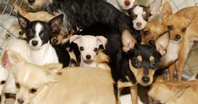 NEWS: 752 dogs + 36 birds = 1 record nightmare