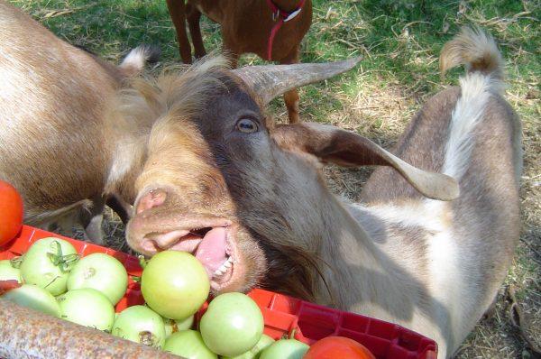 goat photos  u00ab ryndustries